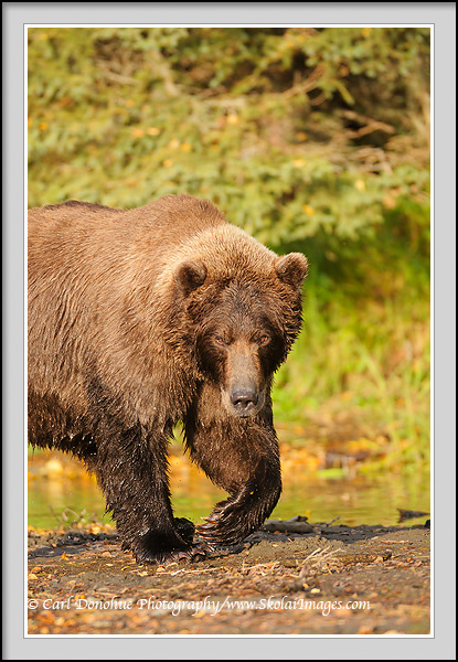 A large adult male grizzly bear, Ursus arctos, walks along the edge of Brooks River, Katmai National Park, Alaska.