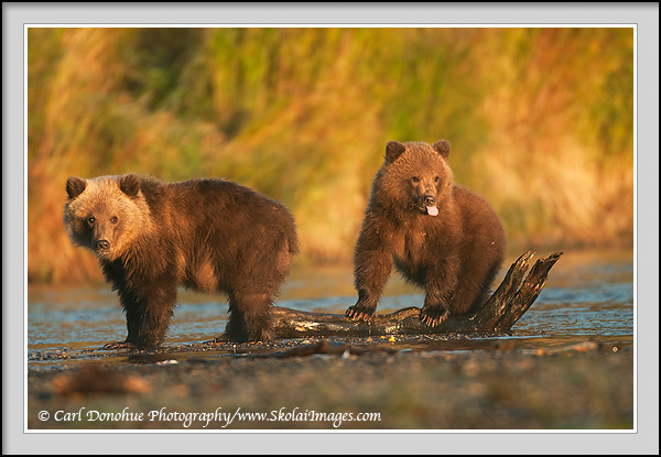2 grizzly bear cubs, twins, cubs of the year, Katmai National Park, Alaska.