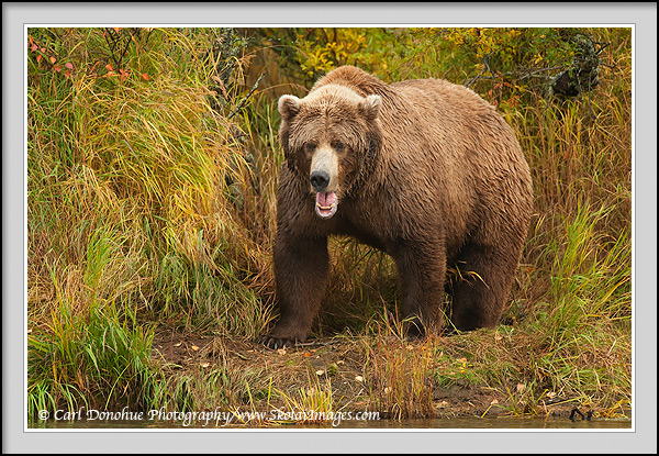 An adult grizzly bear opens its mouth wide, teeth bared, Katmai National Park, Alaska.