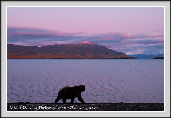 A grizzly bear stands and looks over Naknek Lake at Sunset, toward Mount La Gorce, Katmai National Park, Alaska.