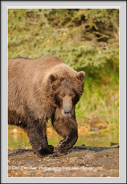 A grizzly bear walking towards the camera, Katmai national park, Alaska.
