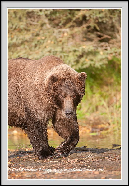 A boat brown bear walks towards the camera, Katmai National Park, Alaska.