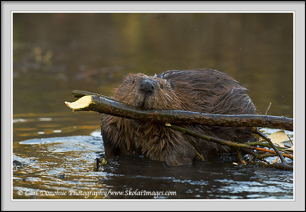 A beaver (Castor canadensis) hauling willow back to his lodge, Wrangell - St. Elias National Park and Preserve, Alaska.