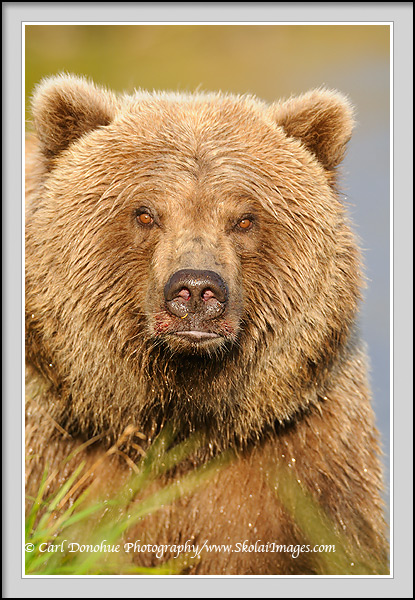 A grizzly bear (Ursus arctos) headshot, Katmai National park and Preserve, Alaska.