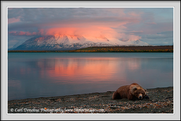 A Grizzly bear rests at Sunset