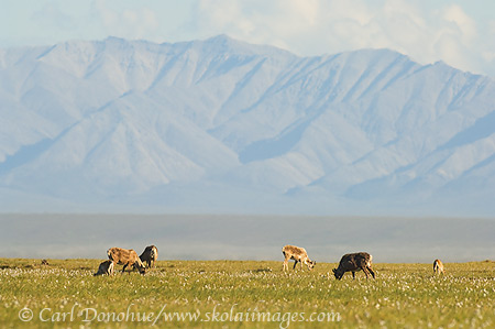 Caribou herd on the coastal plain, the Arctic National Wildlife Refuge, Alaska.