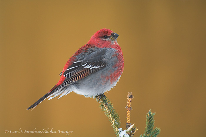 Pine Grosbeak, winter, Wrangell - St. Elias National Park and Preserve, Alaska
