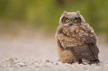 Great Horned Owl chick (owlet - Bubo virginianus), in Wrangell - St. Elias National Park and Preserve, Alaska. The chicks were just flegding, and learning to fly. This little guy had landed on the grounded, and before long flew off to a nearby white spruce tree in the boreal forest. Great Horned Owl, Wrangell - St. Elias National Park and Preserve, Alaska.