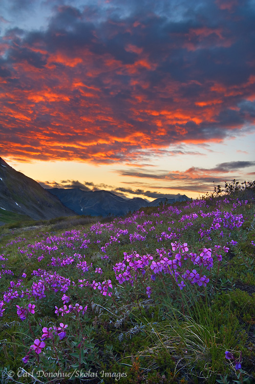 Dwarf Fireweed on an alpine hillside and a fiery sunset in the Chugach Mountains, Wrangell - St. Elias National Park and Preserve, Alaska. The latin or scientific name for Dwarf Fireweed is Epilobium latifolium and it is classified in the Evening-Primrose Family, or Onagraceae.