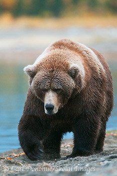 Grizzly bear sow photo, Katmai National Park, Alaska.