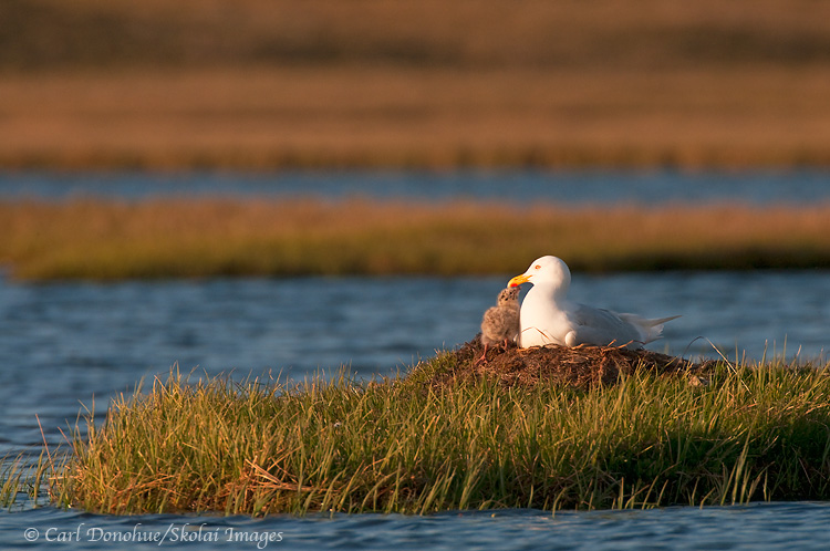 A glaucous gull sits with its chick on a nest on the coastal plain in the Arctic National Wildlife Refuge, ANWR, Alaska, ( Larus hyperboreus)