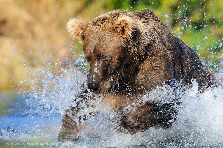 Brown bear chasing salmon, Katmai National Park, Alaska.