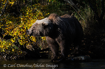 Grizzly bear and fall color, standing in warm afternoon light on the edge of a salmon stream. Ursus arctos, brown bear, Katmai National Park and Preserve, Alaska.