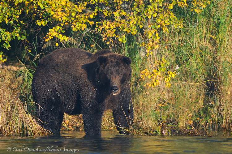 Grizzly bear adult, fall, Katmai National Park, Alaska.