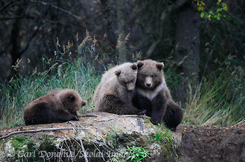 4 grizzly bear (brown bears, Ursus arctos) in the forest of Katmai National Park and Preserve, Alaska.