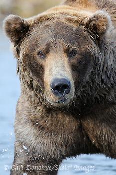 Male grizzly bear, Katmai National Park, Alaska.