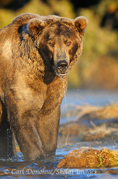Grizzly bear, Katmai National Park, Alaska.