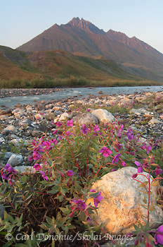 Dwarf Fireweed, Brooks Mountain Range, ANWR, Alaska.