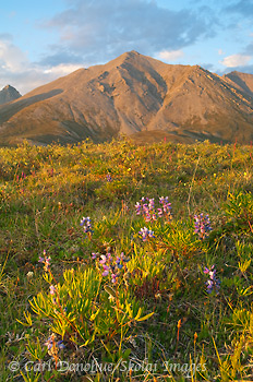 Arctic lupine and Brooks Range, ANWR, Alaska.