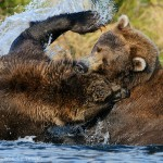 Grizzly bears fighting, Katmai National Park, Alaska.