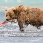 Coastal brown bear (Grizzly bear, Ursus arctos), Katmai  National Park, Alaska.