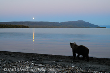 Grizzly bear watching moon, Katmai National Park, Alaska.