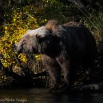 Grizzly bear and fall colors, Katmai National Park, Alaska.