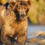 Male brown bear, Katmai National Park, Alaska.