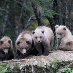 4 grizzly bear cubs, Katmai National Park, Alaska.
