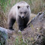 Grizzly bear cub, (Brown bear, Ursus arctos) Katmai  National Park, Alaska.