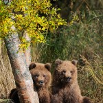 Grizzly bear cub, birch tree, Katmai National Park and Preserve, Alaska.
