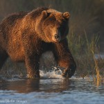 Grizzly bear, Brooks River, Katmai, Alaska,