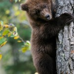 Grizzly bear cub in a tree. Katmai  National Park, Alaska.