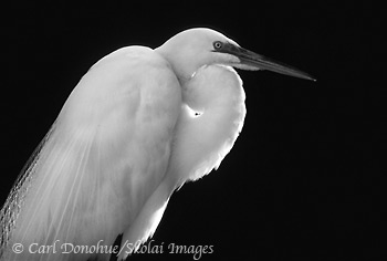 Black and white photo of Great Egret, St. Augustine, Florida.