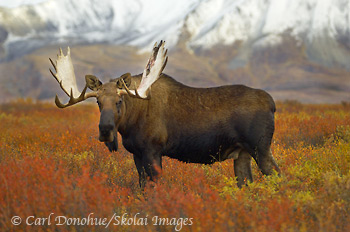 Bull Moose in fall color, Denali National Park, Alaska.
