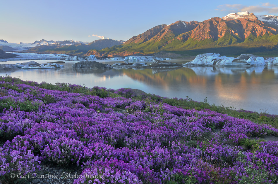 Wildflowers (Wild Sweet Pea, Hedysarum Mackenzii) and icebergs, Nizina Lake and Nizina Glacier, Wrangell - St. Elias National Park and Preserve, Alaska.