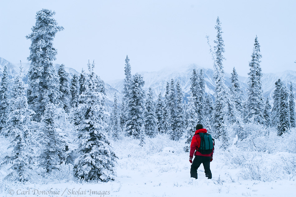 Winter travel through the boreal forest, in Wrangell - St. Elias National Park and Preserve. Hiking on snowshoes through the snow-covered taiga, white spruce forest in winter.