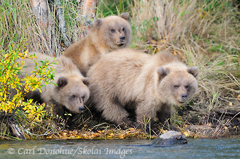 Grizzly bear cubs, Katmai National Park, Alaska.