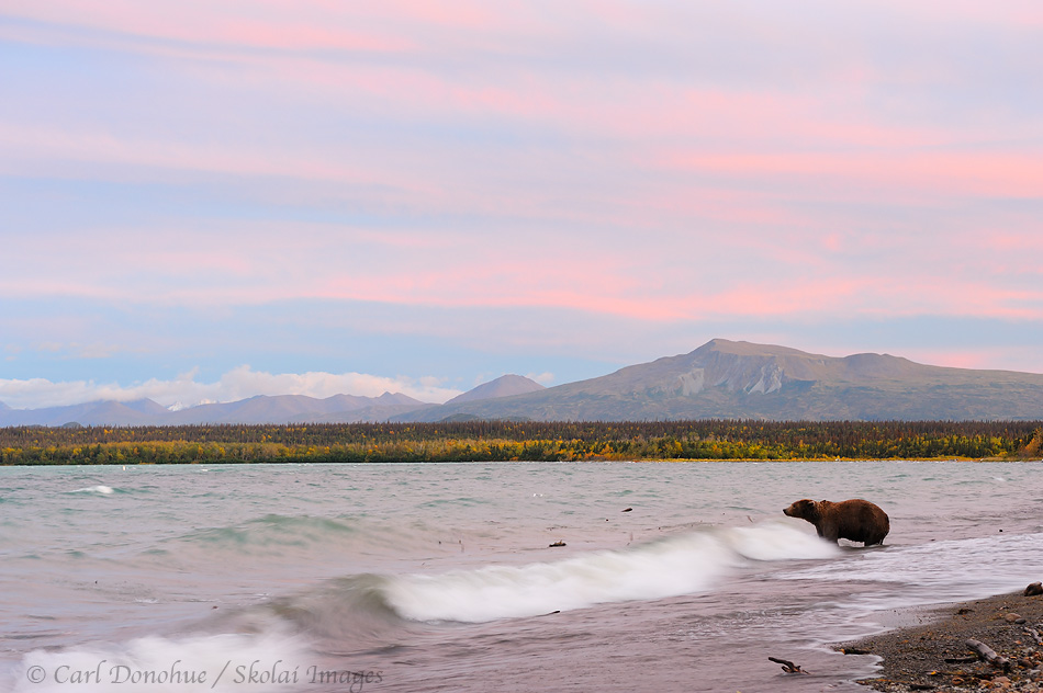 Brown bear at sunset, Katmai National Park and Preserve, Alaska.