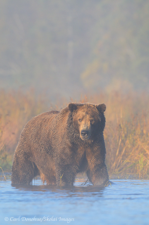 Brown bear in fog, Katmai National Park and Preserve, Alaska.