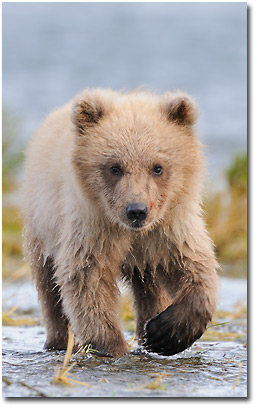 Brown bear cub, Katmai National Park, Alaska.