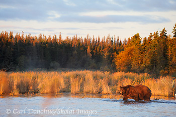 A brown bear patrols the river's edge at dawn, searching for spawning Sockeye salmon. Brown bear (Ursus arctos), Katmai National Park and Preserve, Alaska.