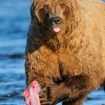 Brown bear eating salmon, Katmai National Park and Preserve, Alaska.