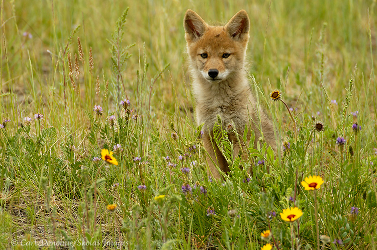 Coyote pup sitting beside yellow daisies, Jasper National Park, Canada.