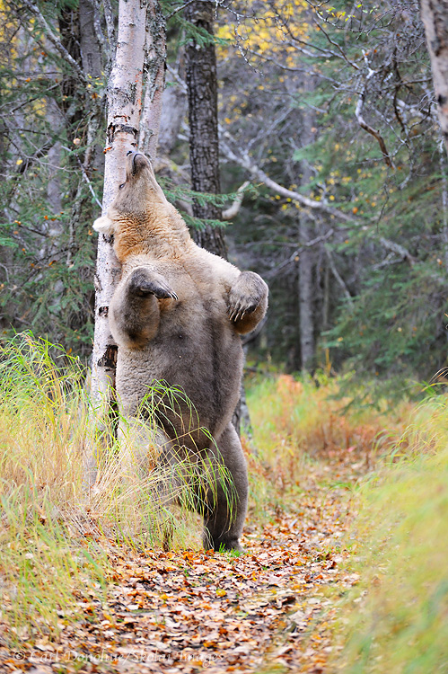 Brown bear, Ursus arctos, standing raised upright and rubbing her back against a birch tree in Katmai National Park and Preserve, Alaska .