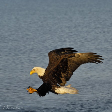 Bald eagle snatching up a fish, from Kachemak Bay, Alaska.