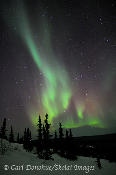 Aurora borealis, or northern lights, over spruce trees, White Mountains near Fairbanks, Alaska.