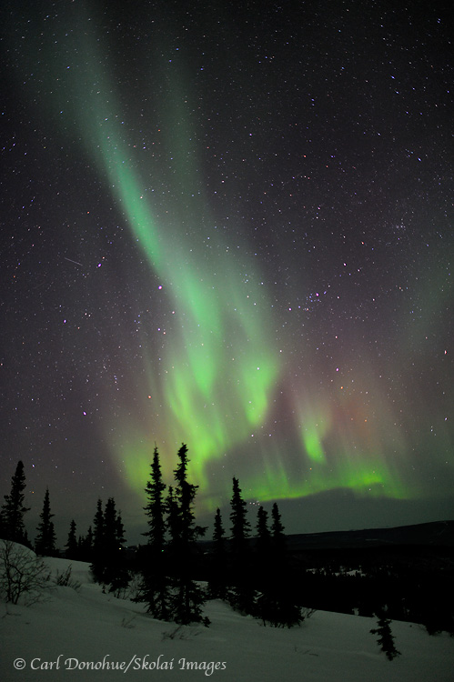 Aurora Borealis, Or Northern Lights, Over Spruce Trees, White Mountains  Near Fairbanks,