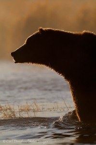 Backlit brown bear, Katmai National Park, Alaska.