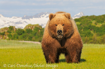 Brown bear (Ursus arctos), at Hallo Bay, Katmai National Park and Preserve, Alaska.